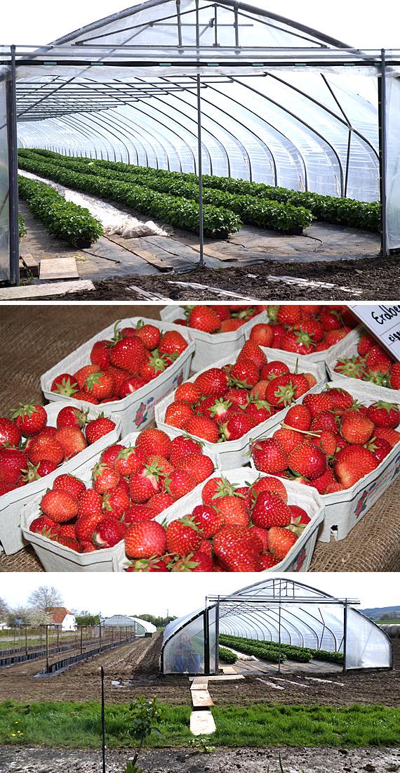 Um seinen Kunden rechtzeitig zur Saison die beliebten Erdbeeren aus eigenem Anbau anbieten und für das traditionelle Erdbeerfest Anfang Juni eines jeden Jahres die erforderliche Menge der roten Früchte zur Verfügung zu haben, hat Hofinhaber Dirk Wickemeyer 2015  Leichtbau-Gewächshäuser aufgestellt